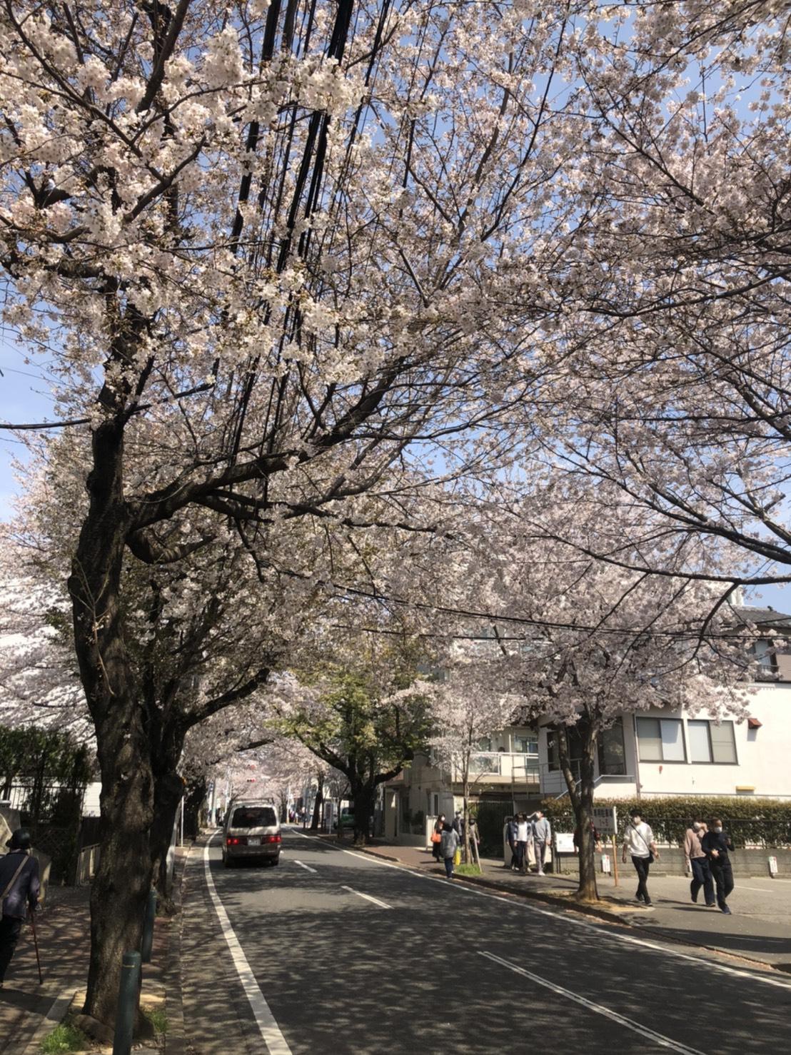 さくら通り(桜、満開)