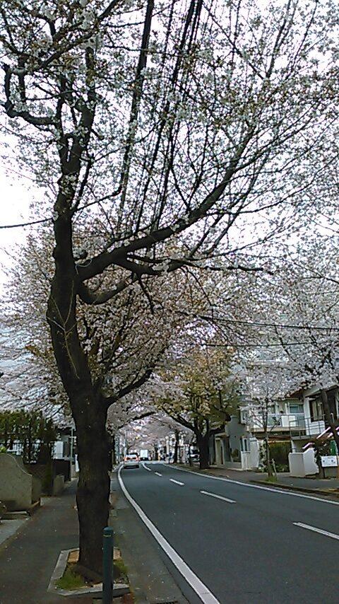 さくら通り(桜、七分咲き)