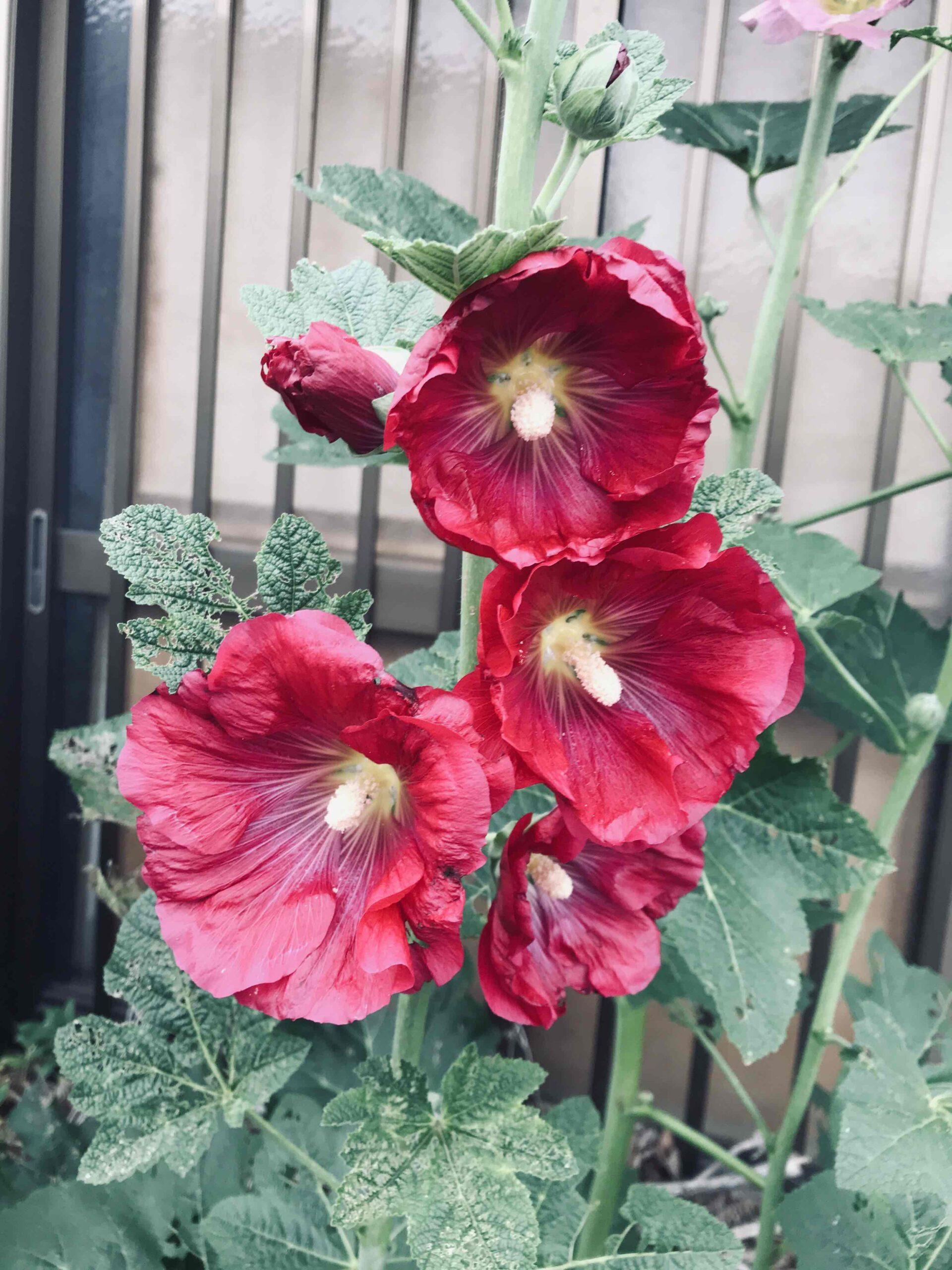 タチアオイが咲き始めました