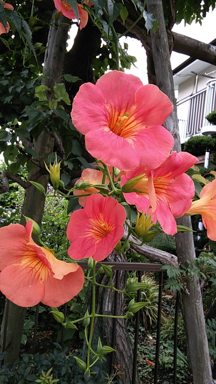 ノウゼンカズラが咲きはじめました